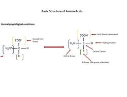 Amino Acid Basic Structure