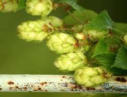 Hops have been harvested for beer making for centuries