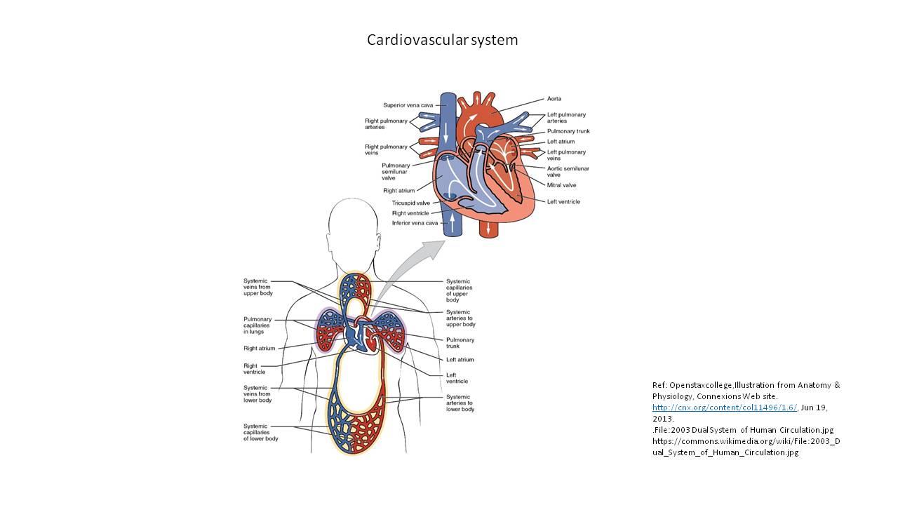 Your Cardiovascular System