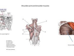 Your shoulder joint and shoulder muscles