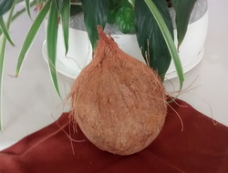 Coconut is the fruit of Cocos nucifera