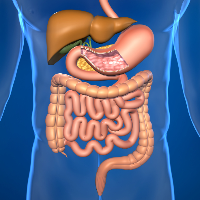 Your Small Intestine An Overview