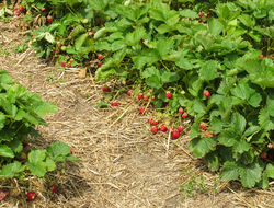 Organically  grown strawberries